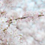 Happy Friday♡ vol.19ー桜の花言葉と心落ち着くクラシック音楽